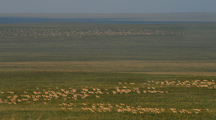 Using bioinformatics tools, Bill Fagan's lab studies the movement of nomadic gazelles across Mongolian grasslands. Photo: Thomas Mueller.