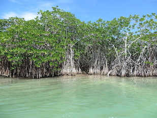 Mangrove marshes, such as this one in the Sian-Ka'an Biosphere Reserve south of Cancun, Mexico, are particularly effective at slowing storm surges and mitigating the intensity of storm-related flooding. Image credit: Ariana Sutton-Grier (Click image to download hi-res version.)